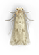 Clothing Moth Top View